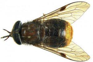 Scaptia beyonceae
